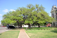Famous Texas Trees